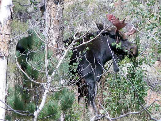 Crystal Lakes Moose