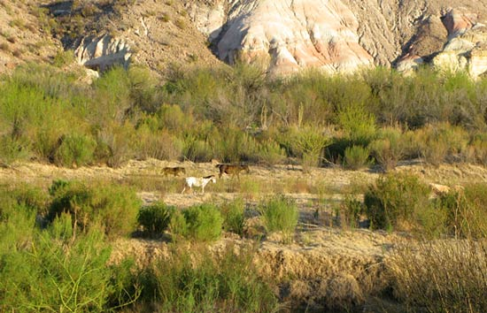 Caballos Mexicanos, Big Bend Ranch State Park