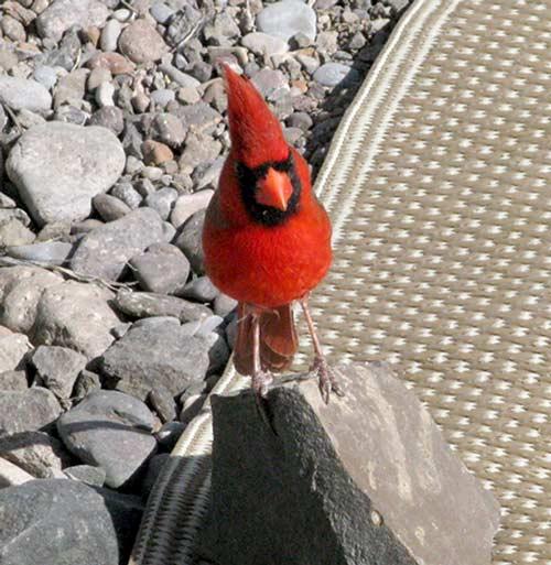 Rving, camping, Big Bend, Texas, cardinal