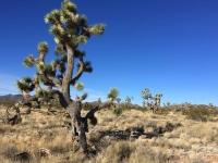 Searchlight, Nevada Joshua Tree