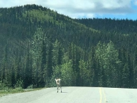 Caribou on Alcan Highway 97 at Stone Mountain Summit