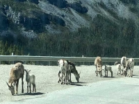 Stone Sheep on Alcan Highway 97 at Stone Mountain Summit