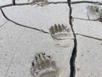Haines Alaska Grizzly Bear Paw Prints