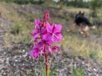Braeburn Yukon Wildflower