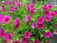 Abundant Color in the Vickers Summer Flower Garden