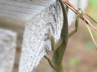 Lizard in the Big Thicket