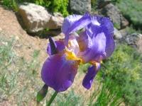 Iris blooms at Jerry's Acres
