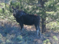 Red Feather Moose Crystal Lakes Colorado