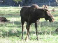 Bull Moose at Vickers Ranch Lake City, CO