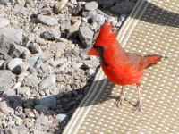 Western Cardinal Big Bend Ranch State Park