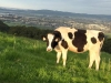 Taylor Mountain Cow Grazing, Santa Rosa CA