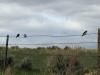 Fence Birds Saratoga, Wyoming