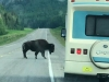 Alaska Highway Wood Bison
