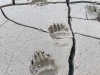 Haines Alaska Grizzly Bear Paw Prints