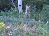 Crystal Lakes Coyote Pups