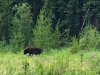 Stewart Cassiar Highway Black Bear