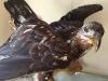 Hyder Alaska History Museum Taxidermy, Juvenile Bald Eagle