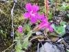 Salmon Glacier Wildflower