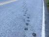 Bear prints on highway at Fish Creek, Hyder Alaska