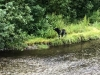 Black Bear at Fish Creek, Hyder Alaska