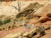 Cohab Canyon Bighorn Sheep in Capitol Reef National Park