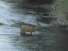 Deer crossing Lake Fork of the Gunnison River at Dusk