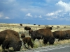 Roadside Buffalo in Grand Teton National Park - Drive Carefully!