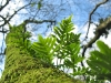 Ferns growing from mossy tree at Cape Disappointment