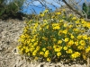 Big Bend wild desert flowers blooming in Spring