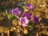 Tiny Spring Desert Flowers near Organ Pipe Natl. Monument