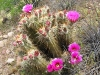 Flowering Hedgehog Cactus in Organ Pipe National Monument