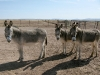 Elfrida Arizona Ranch Donkeys