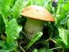Colorado Rocky Mountain Mushroom