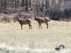Wild Elk Herd at Vickers Upper Ranch Lake City, CO