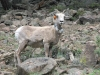 Alpine Loop Bighorn Sheep Ewe Cinnamon Pass Colorado
