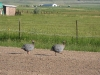 Colorado Horse Property Guinea Hens