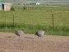 Colorado Horse Property Guinea Hens
