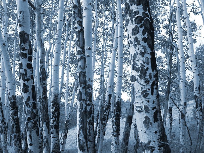 Monotone Rocky Mountain Colorado Aspen Grove by Rene