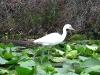 Snowy Egret Okefenokee Swamp GA