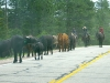 Cattle drive along Colorado HWY 287
