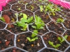 High Altitude Colorado Mountain Lettuce Sprouts