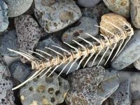 Fish Skeleton at John Day Dam