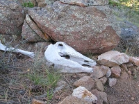 Elk Skull and Ashes at Jerry's Acres