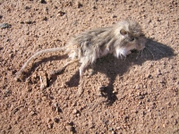 Poor Field Mouse near Roswell, NM