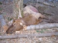 Dead Elk on Three Rivers Trail near Tularosa, NM