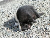 Etna, CA roadkill skunk