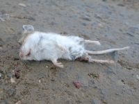 Buena Vista Colorado Mouse Road Casualty