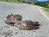 Woody the Woodpecker Roadkill on HWY 149