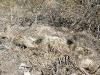 Very old dead Javelina Tombstone Arizona