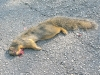 River Road Fresh Kill Squirrel